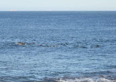 Delfine vor Port Elizabeth