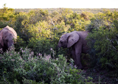 Addo Nationalpark - Elefanten