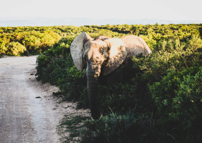 Addo Nationalpark - Elefant