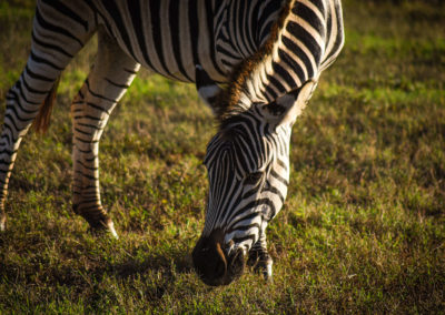 Addo Nationalpark - Zebra